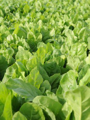 foto food campo verdura